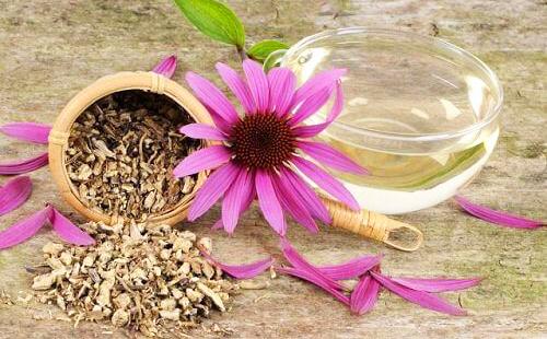 Эхинацея пурпурная: фото, лечебные свойства и противопоказания, отзывы