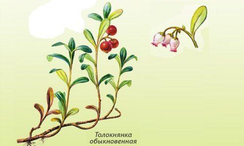 Трава толокнянка при цистите у мужчин и женщин: свойства, рецепты отваров и настоев, отзывы