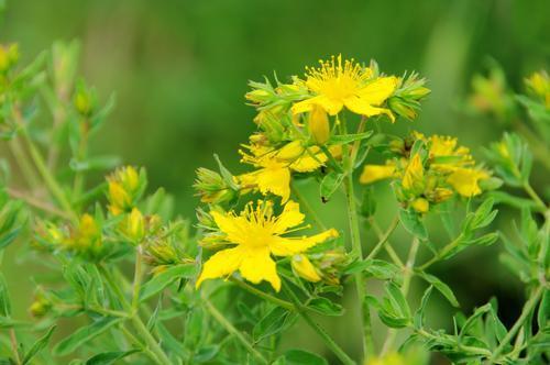 Трава зверобой: полезные и лечебные свойства, польза и противопоказания