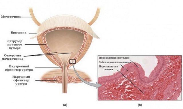 Хронический цистит у мужчин и женщин: причины, симптомы, обследование, лечение, профилактика