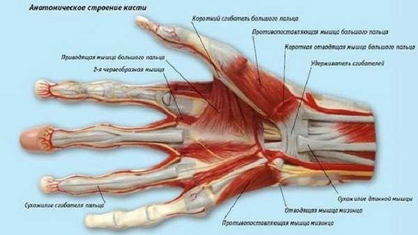 Строение руки человека: фото анатомии кисти, суставы, мышцы, фаланги пальцев, связок