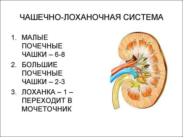 Уплотнение структур синусов почек у детей и взрослых: что это такое, причины, дополнительные обследования