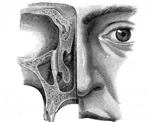 Строение полости носа и пазух человека: анатомия, схема с описанием