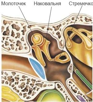 Строение уха человека: наружного, среднего, вестибулярного анализатора