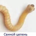 Скребни: особенности строения червей, тип, пути заражения, симптомы, диагностика, лечение