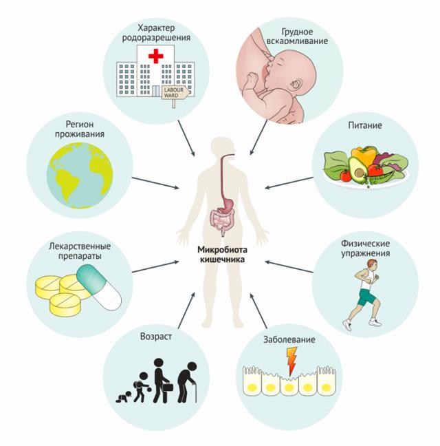 Строение кишечника человека: длина, отделы, функции, где находится, микробиота, ферменты
