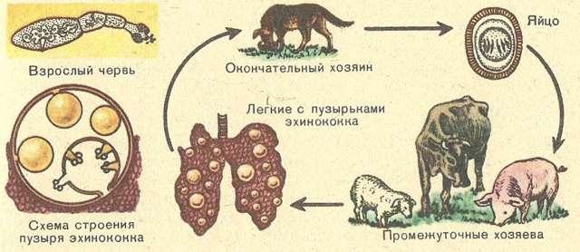 Эхинококкоз печени, легких и головного мозга: фото, симптомы у человека, диагностика, лечение